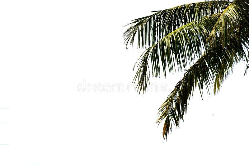 Liście odizolowywający na białym tle drzewko palmowe zdjęcia stock