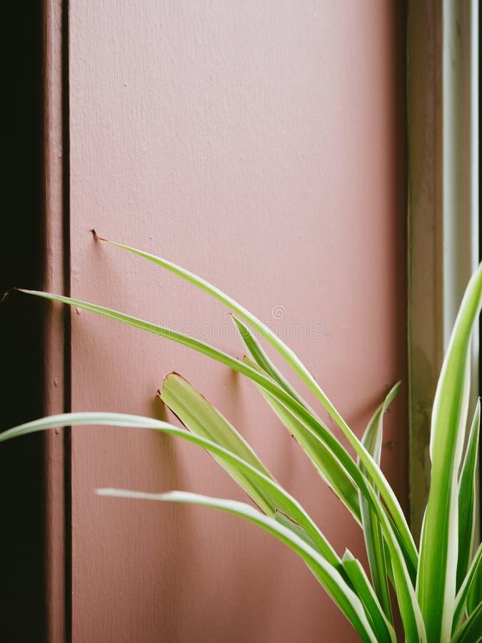 Liście pająk roślina przed różowią ścianę indoors z w ten sposób obrazy royalty free