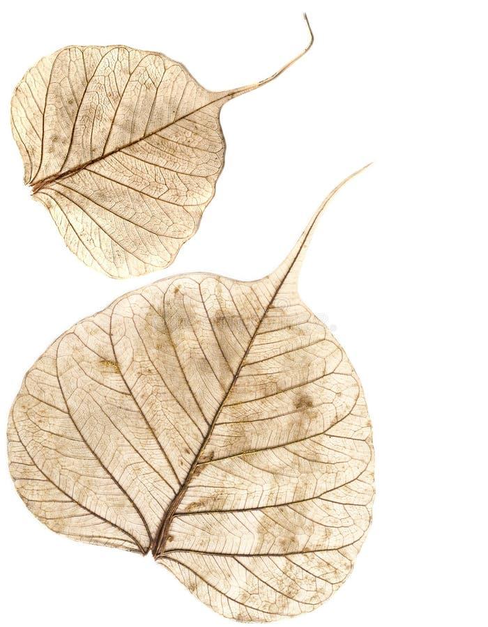 liście pojedyncze białe obraz stock