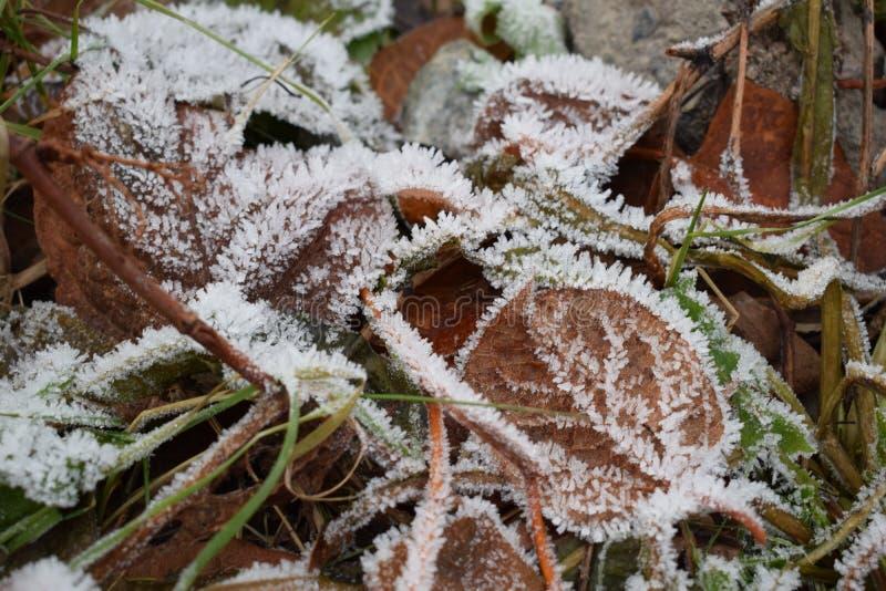 Liście w śniegu obraz stock