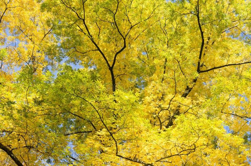Liście w jesiennym kolorze Gorzka dokrętka obrazy royalty free