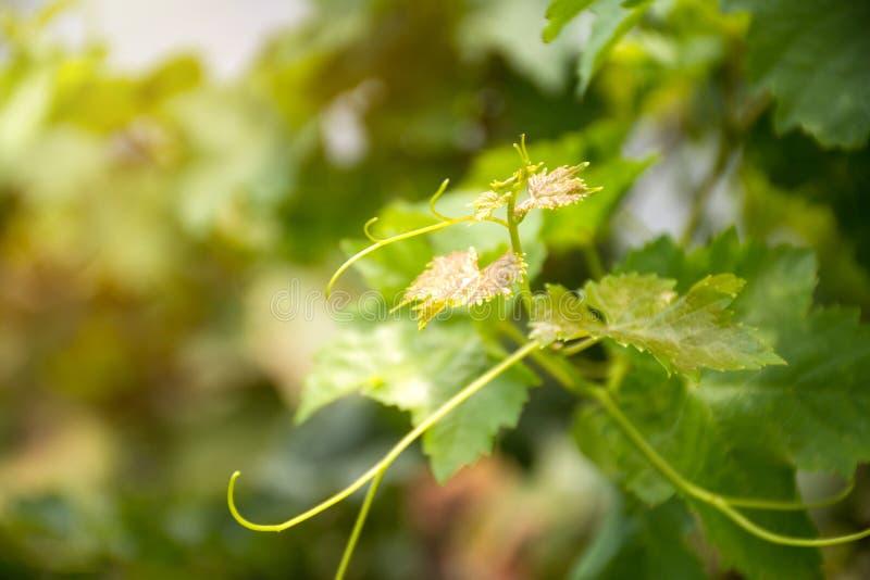 Liście winogron dla niemowląt i winorośl w winnicy z zielonym rozmazanym tłem zdjęcie stock