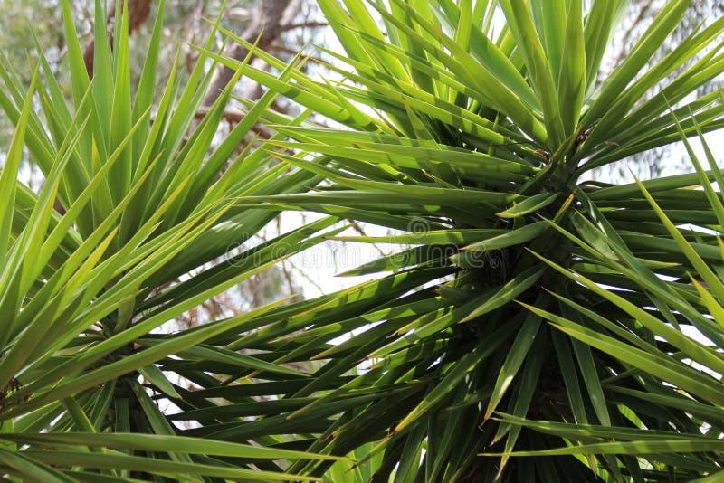 Liście Yukka roślina obraz royalty free