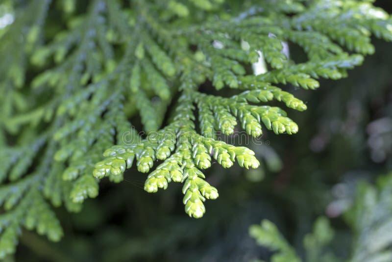 Liście Zachodni redcedar &-x28; Tuja plicata&-x29; drzewo zdjęcie stock