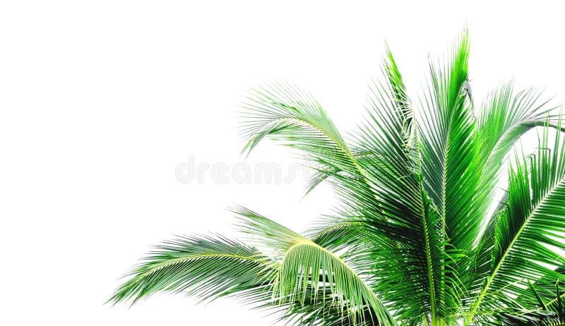 Li?cie kokosowy drzewo fotografia royalty free