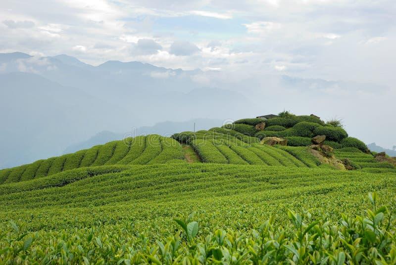 A-Li Mountain Oolong Tea stock image