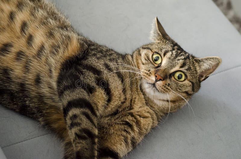 Кот, дракон Li, кот Tabby, небольшой к среднего размера котам