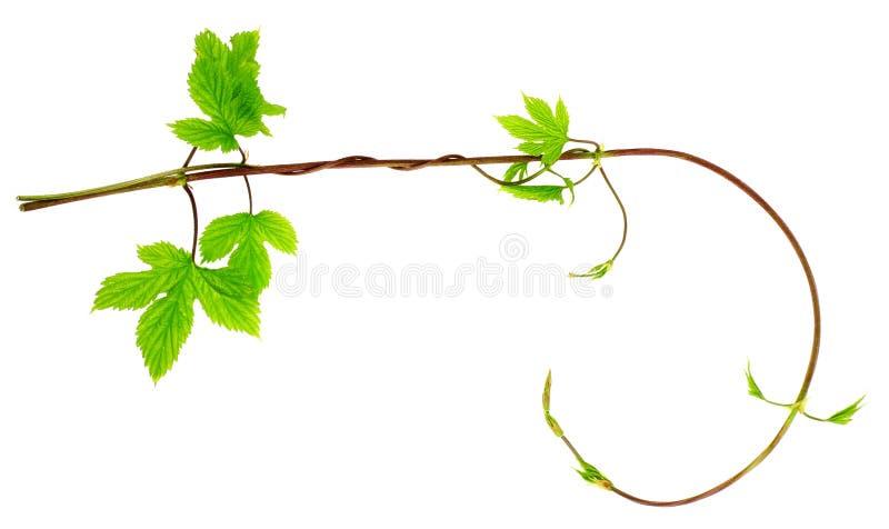Download Liana barb stock image. Image of decorative, flora, fresh - 14296075