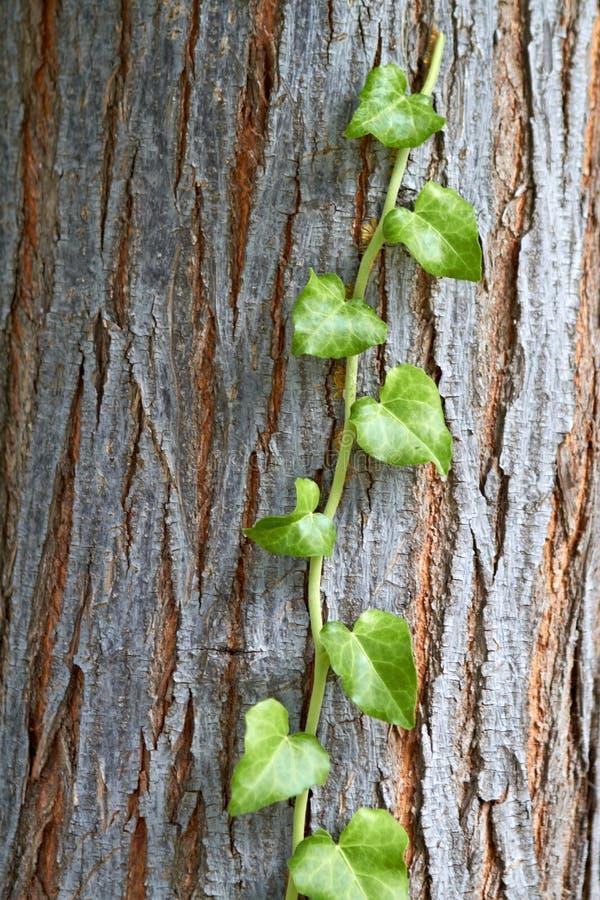 Liana Climb To The Tree Royalty Free Stock Photo