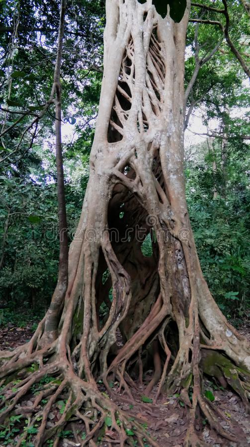 The Liana that covered the trunk of the ficus to his death in Boabeng Fiema Monkey Sanctuary, Techiman, Ghana. The Liana that covered the trunk of the ficus to stock images