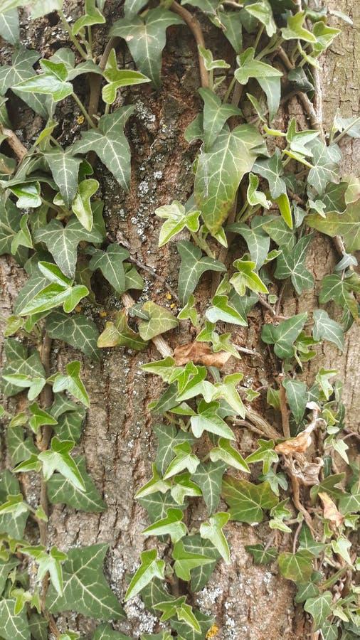 Liana en árbol foto de archivo libre de regalías