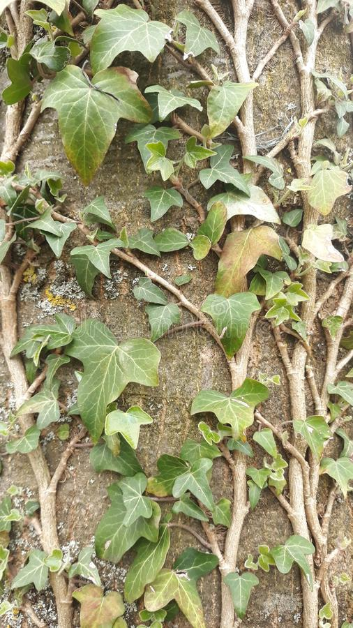 Liana en árbol foto de archivo