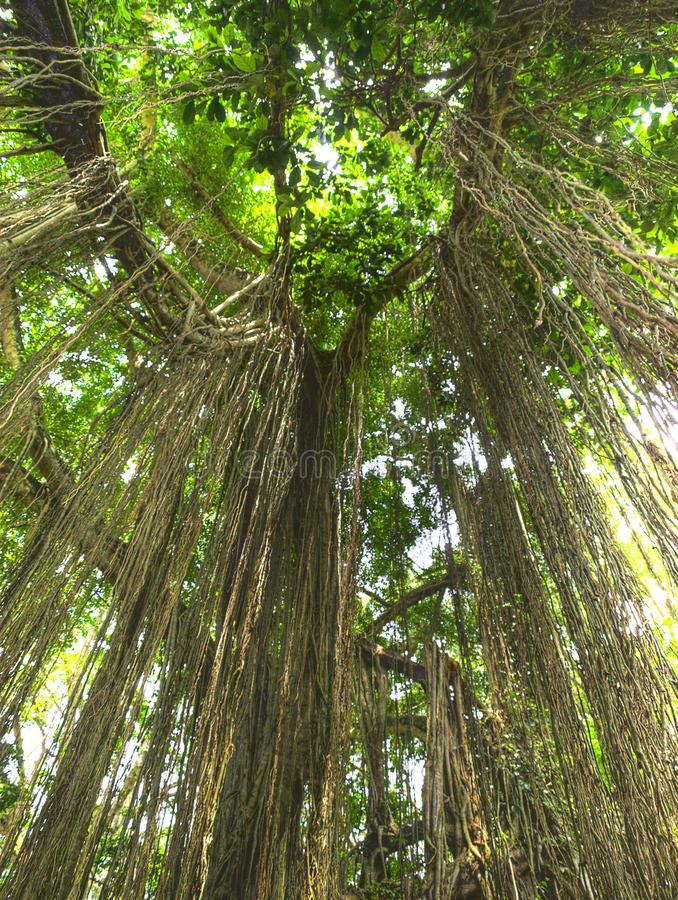 Lianas de la selva imagen de archivo