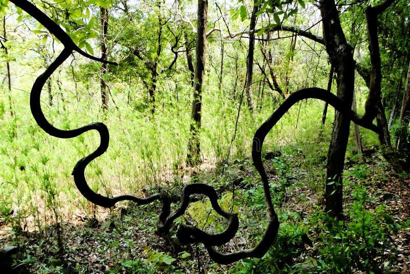 Lianas en la selva, vid grande en bosque tropical fotografía de archivo libre de regalías
