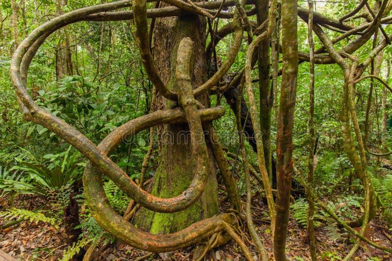 Lianas enredadas en el bosque tropical fotos de archivo libres de regalías