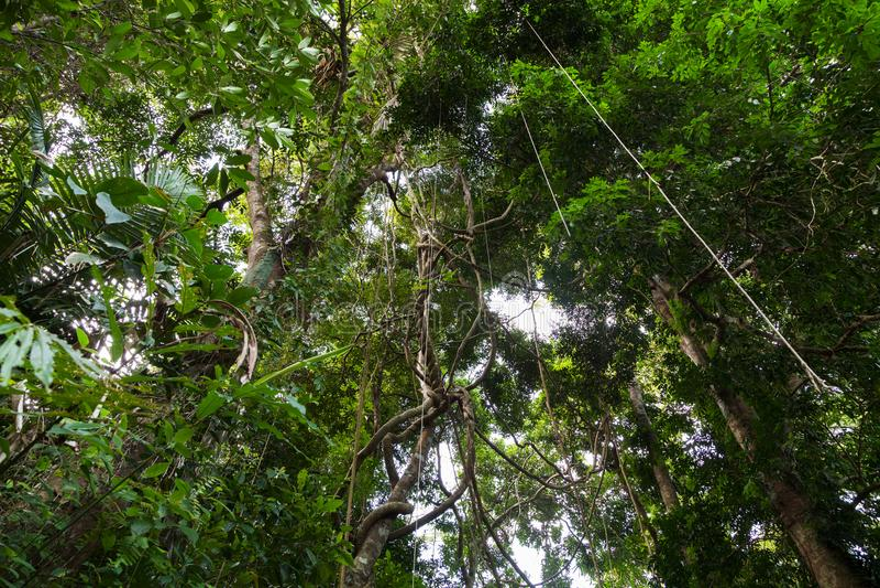 Lianas het bengelen en zonlicht van de regenwoudluifel in phuke royalty-vrije stock afbeelding