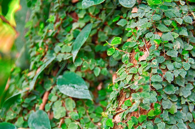 Liane bedeckt grüne Blätter mit Baumstamm im Dschungel Selektiver Fokus, unscharfer Hintergrund Sonniges Tageslicht stockbild