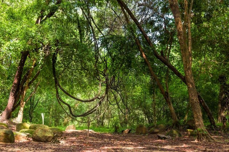 Liane in giungla immagine stock