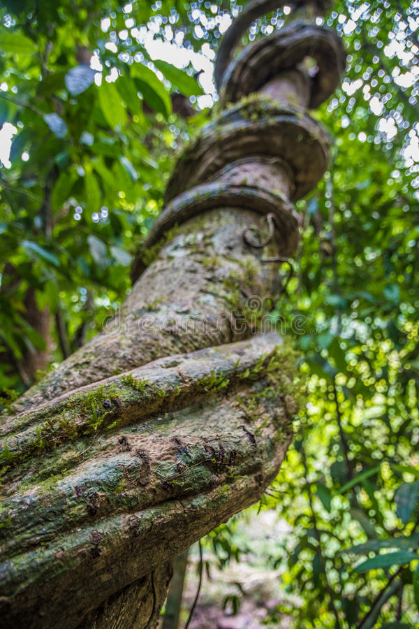 Liane tropicale massive faisant une boucle autour d'un arbre dans la jungle en Thaïlande images stock
