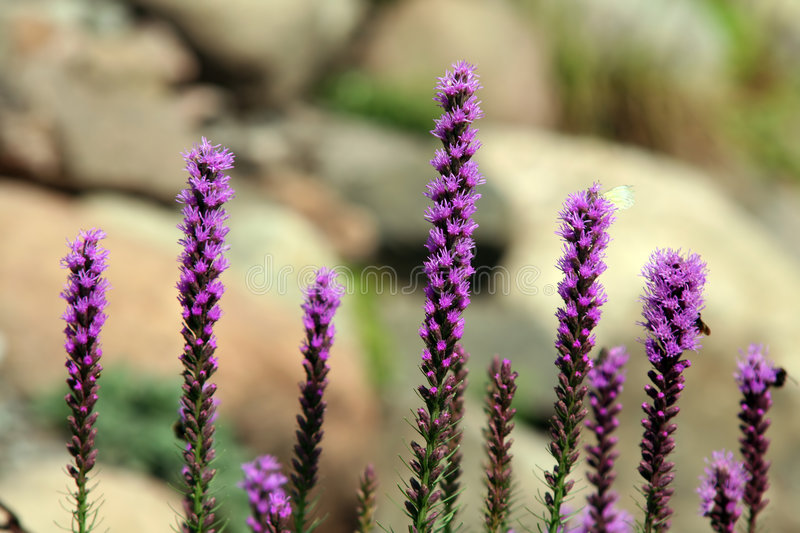 Liatris photos stock