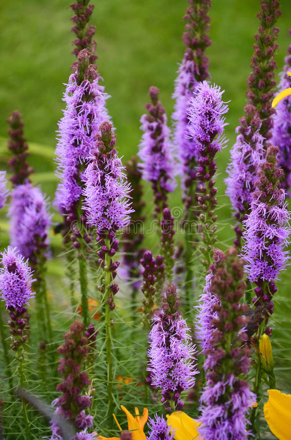 Liatris spicata flowers in the garden stock photo