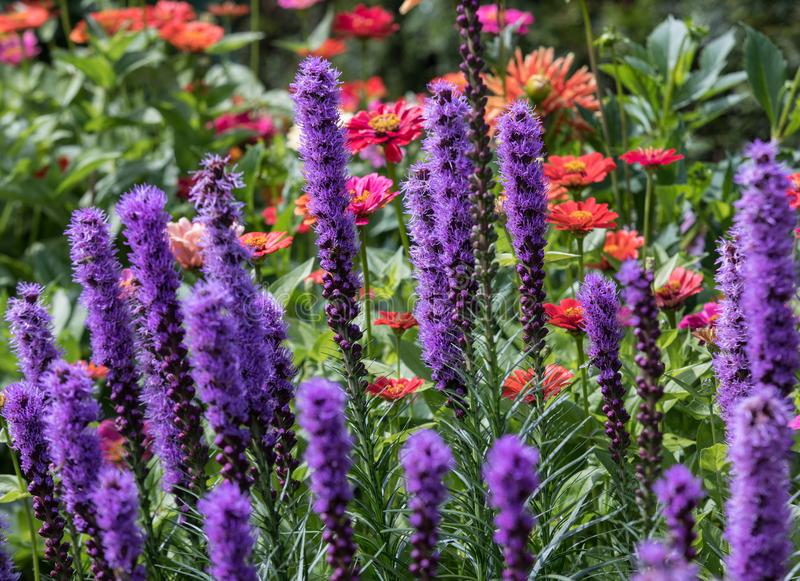 Liatris spicata flowers in the summer garden royalty free stock photography