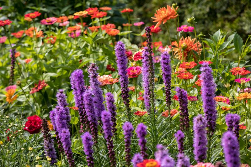 Liatris spicata flowers in the summer garden. royalty free stock photography