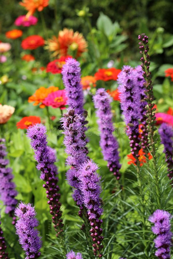 Liatris spicata flowers in the summer garden royalty free stock images