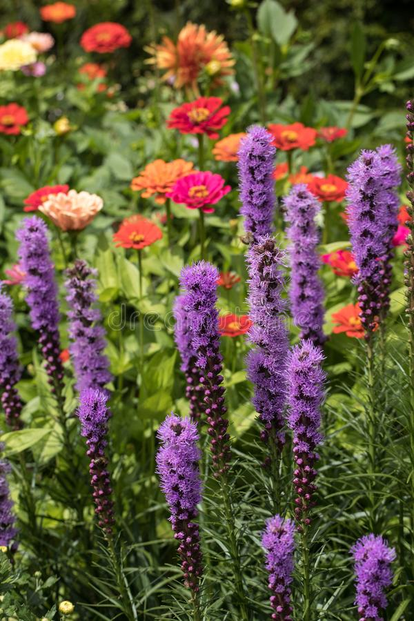Liatris spicata flowers in the summer garden. royalty free stock image