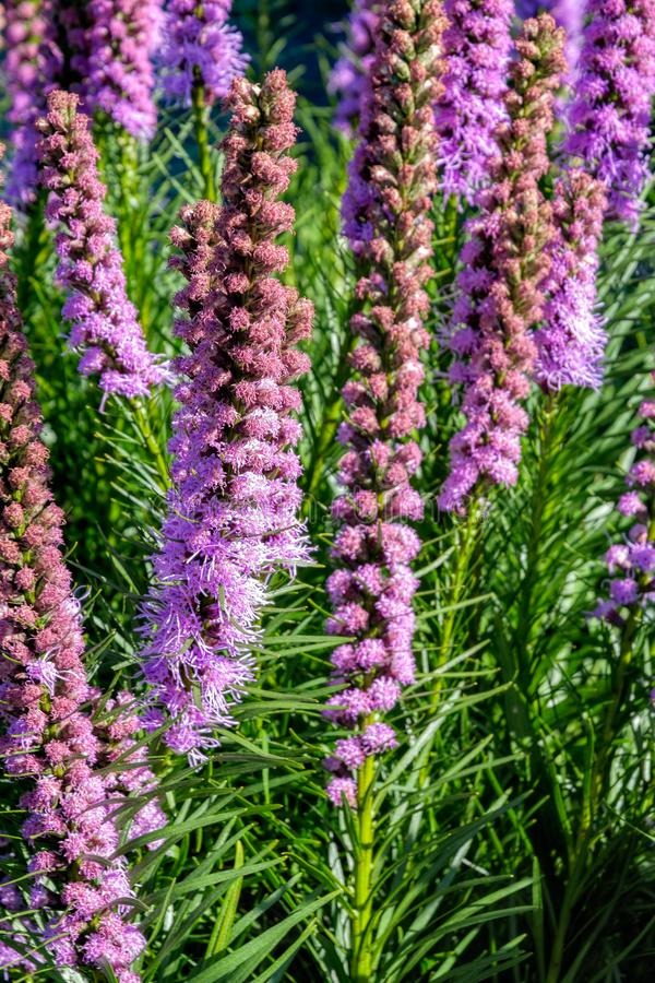 Liatris spicata flowers in the summer garden. Close-up view of blooming Liatris spicata, Dense blazing star or gayfeather in the summer garden royalty free stock photo
