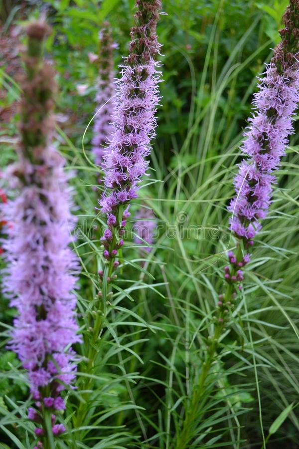Liatris spicata in summer garden stock photography