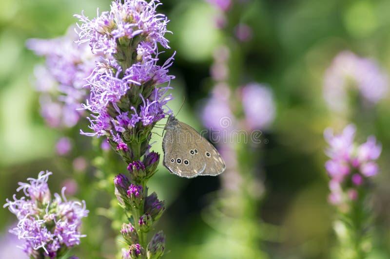 Liatris spicata purpury kwitną w kwiacie, ornamentacyjna kwiatonośna roślina, Aphantopus hyperantus motyl zdjęcia stock