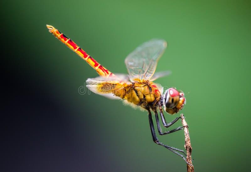 A libélula foto de stock