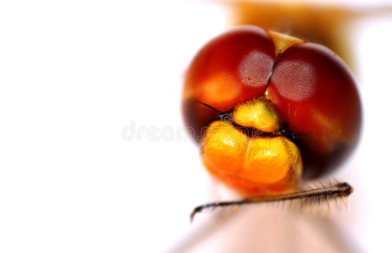 Libélula anaranjada y amarilla del primer de la libélula - imagen de archivo libre de regalías