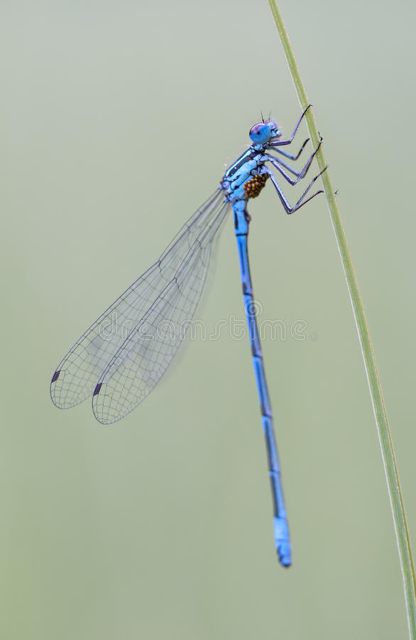 Libélula azul foto de archivo libre de regalías