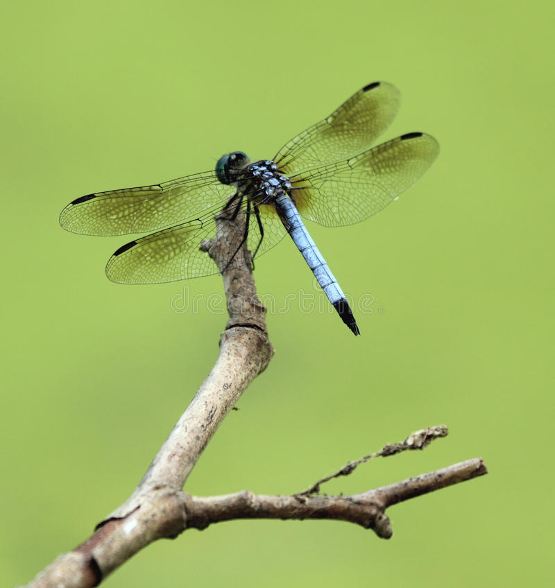 Libélula azul de Dasher imagen de archivo