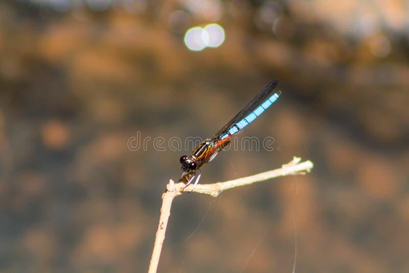 Libélula azul pequena no ramo de árvore imagens de stock royalty free
