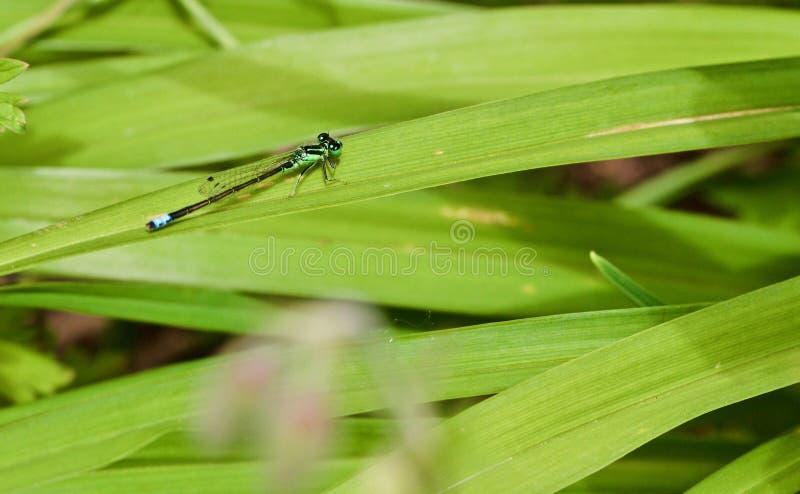 Libélula azul que se sienta en hierba imagen de archivo