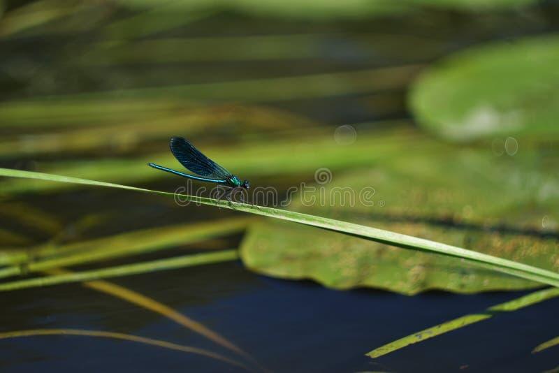 Libélula azul que senta-se em uma lâmina de grama fotos de stock