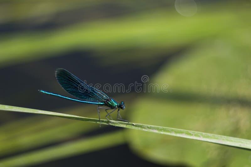 Libélula azul que senta-se em uma lâmina de grama fotos de stock royalty free