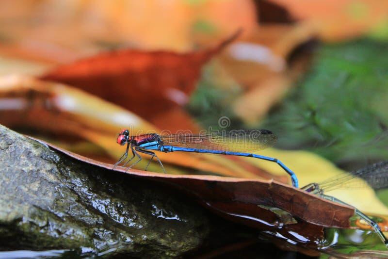 Libélula azul y roja que presenta en el río imagenes de archivo