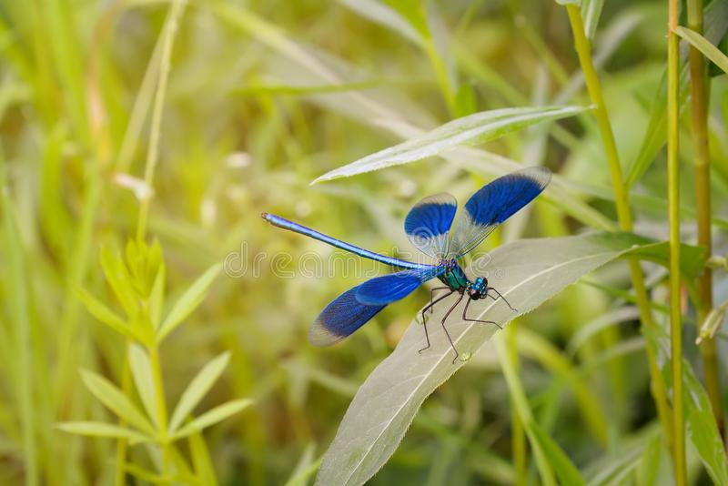 Libélula azulverde en la hoja de la hierba en el día de verano soleado, macro imagenes de archivo