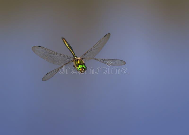 A libélula bonita com grandes olhos e brilho voa o ove do voo fotos de stock