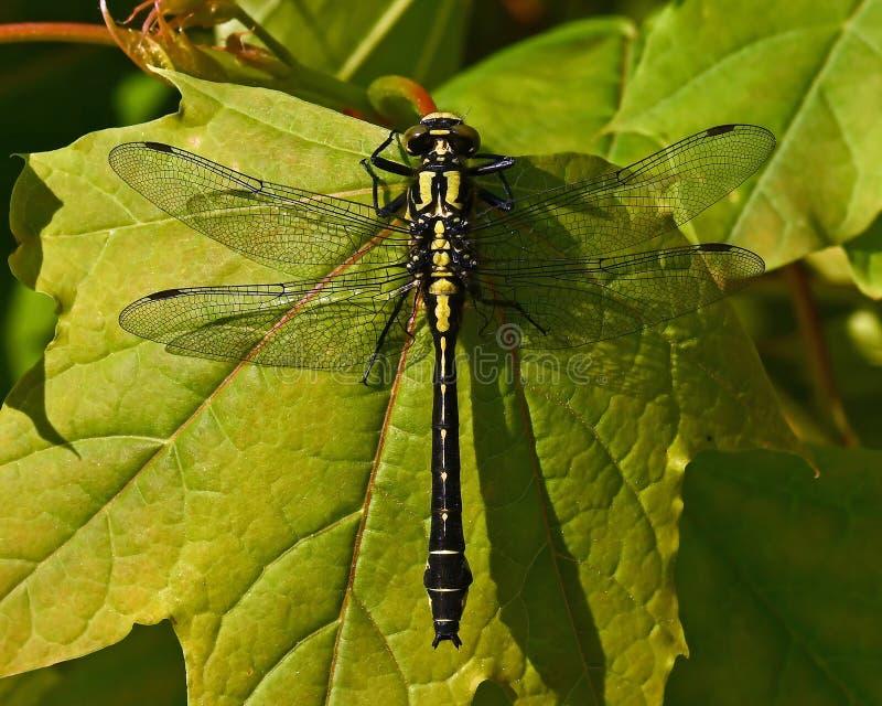 libélula Club-atada, vulgatissimus de Gomphus en primer imagen de archivo libre de regalías