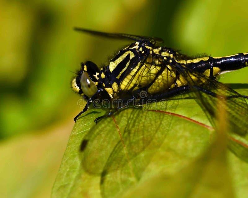 libélula Club-atada, vulgatissimus de Gomphus en primer fotos de archivo