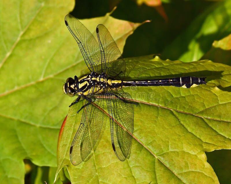 libélula Club-atada, vulgatissimus de Gomphus en primer imagen de archivo