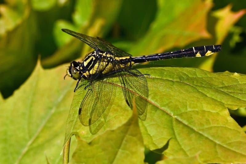 libélula Club-atada, vulgatissimus de Gomphus en primer imagenes de archivo