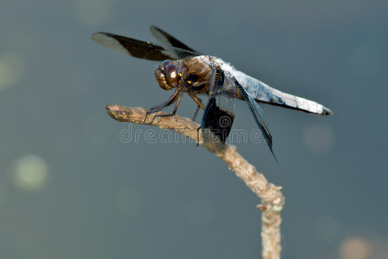 Libélula común del Whitetail fotografía de archivo