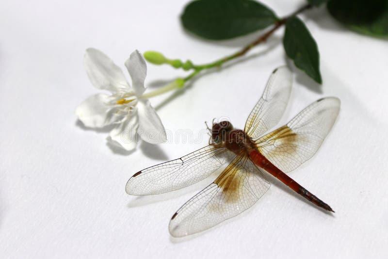 Libélula con el palillo de la flor blanca y de la hoja verde en el fondo blanco foto de archivo
