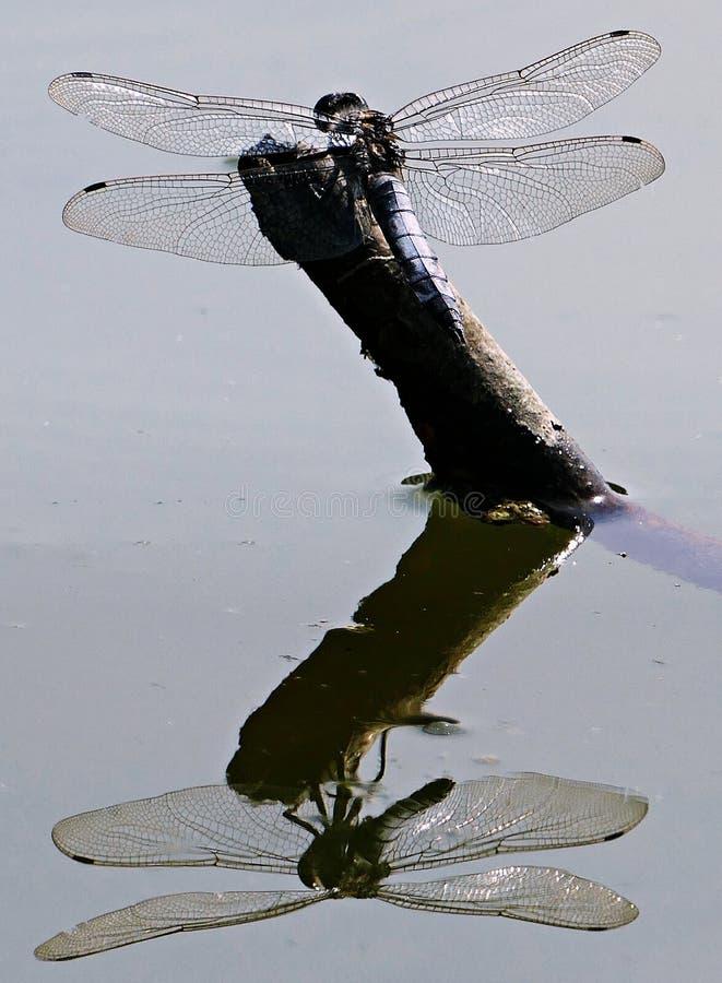 Libélula con la reflexión que sorprende en el agua foto de archivo libre de regalías